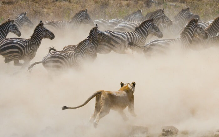 A lioness charging on a group of Zebras in a national park in Kenya