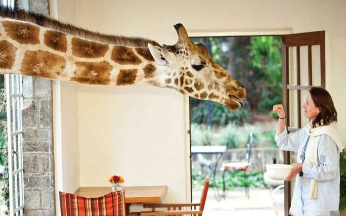 A tourist feeding a giraffe in Giraffe Manor in Kenya