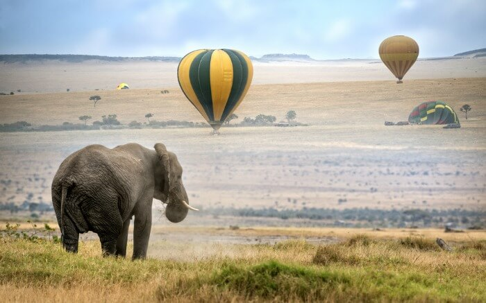 An African elephant walking in a tropical grassland with hot air balloons