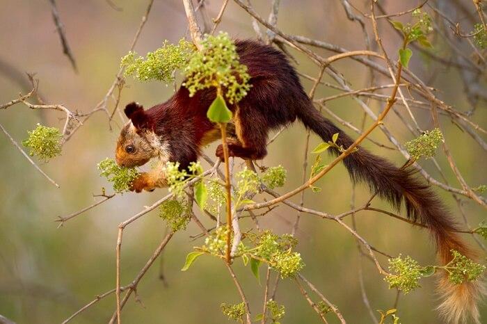 giant indian flying squirrel in bhimashankar