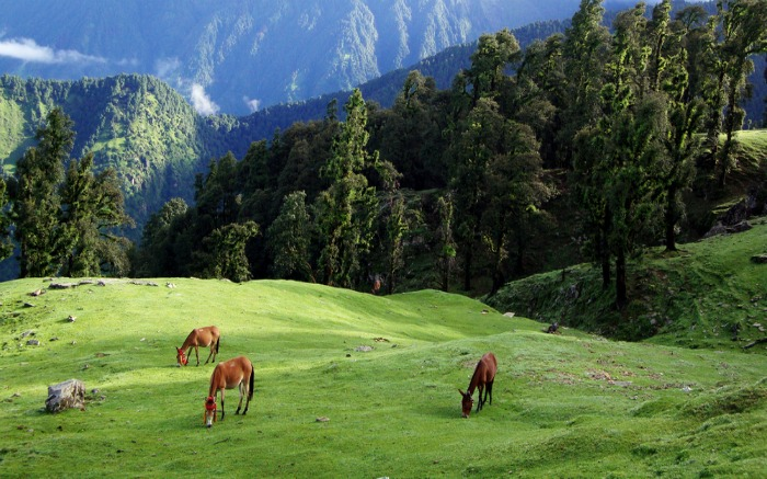 Horses grazing in a field near campsite in Chopta in Uttarakhand