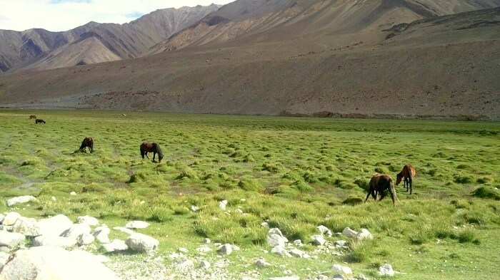 green landscape in ladakh