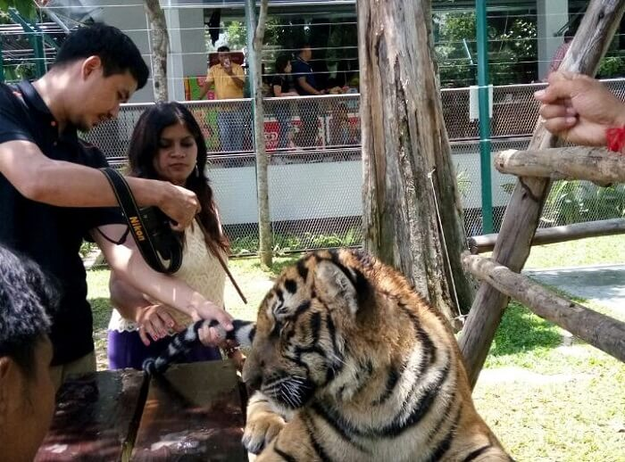 with the tiger in the tiger park thailand