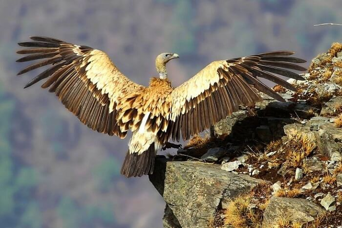 himalayan eagle at Reserve Forest Sanctuary