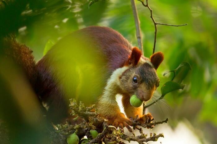 the giant flying squirrel of bhimashankar