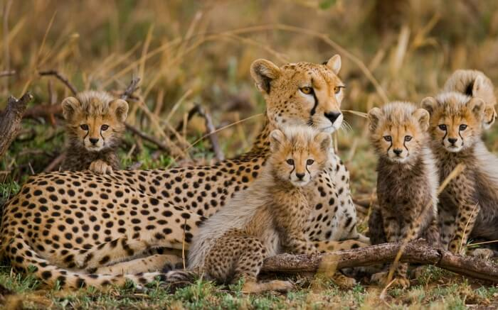 A cheetah with cubs in Masai Mara Nature Reserve