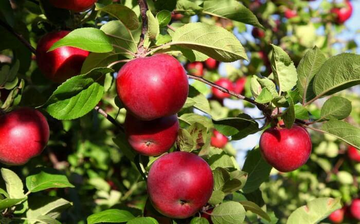 Apples in the Stokes Farm in Narkanda