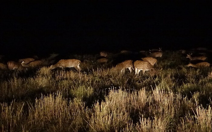 A group of deer spotted in Pench National Park during the night safari