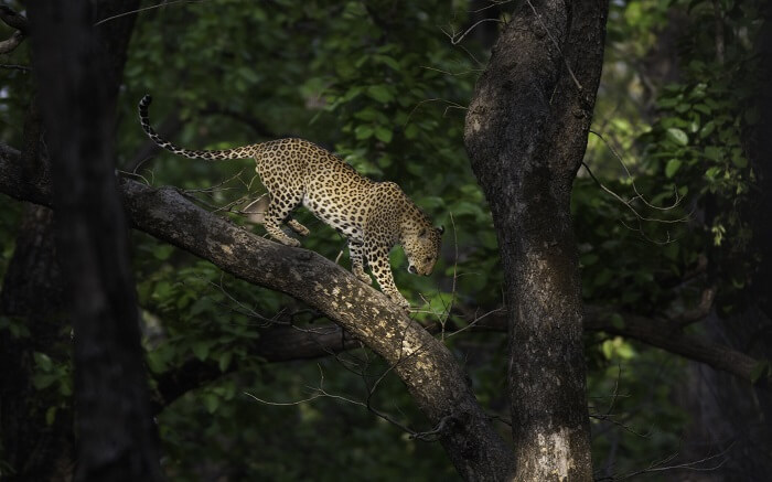 A leopard walking a the branch of a tree in Kanha Tiger Reserve