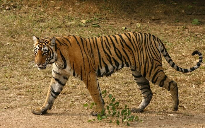 A tiger on a prowl in Rajaji Tiger Reserve in Haridwar