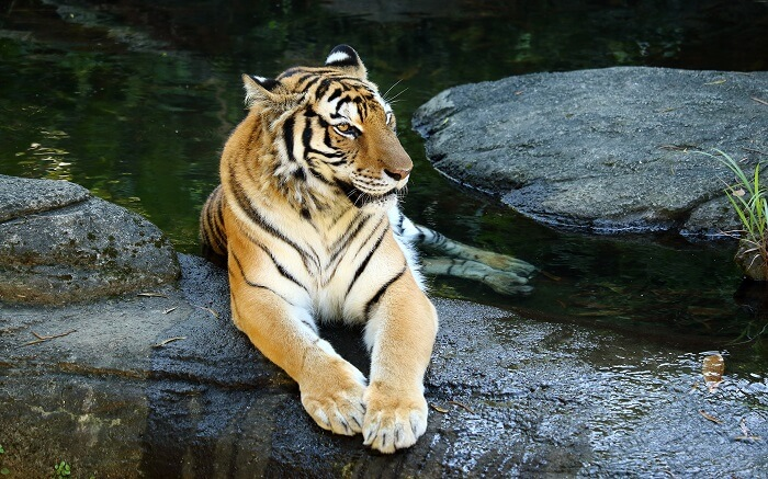 A tiger resting in the water in Tadoba National Park