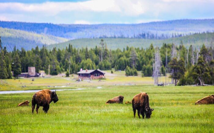 Bisons in Hayden Valley