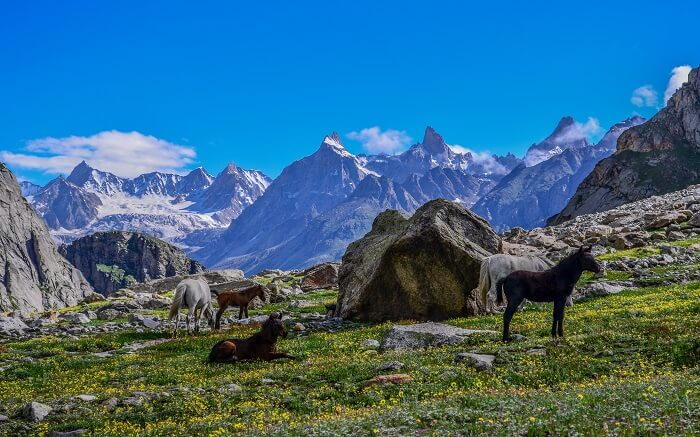 Horses resting near a campsite in the mountains in Himachal