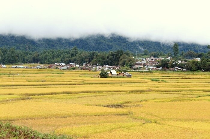ziro rice fields