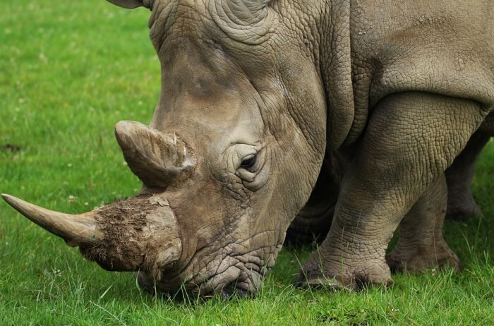 Nature Wild Rhino Wildlife Horn Rhinoceros Animal