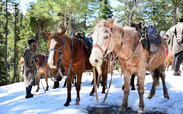 Ponies getting ready before a ride in Pahalgam in Kashmir