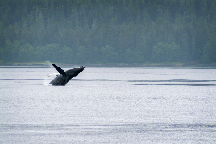 spot humpback whales in Sitka