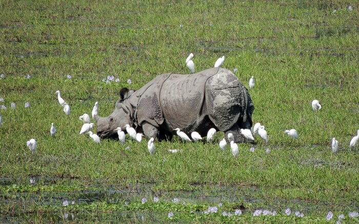 A rhino playing with birds in Kaziranga National Park