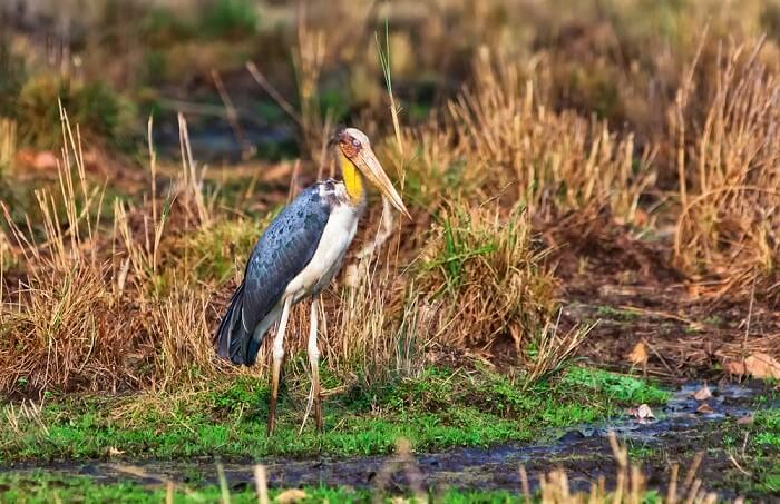 birds of bandhavagrh national park