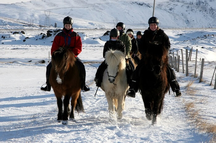 riding the icelandic horse