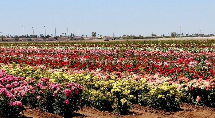 rose garden pushkar