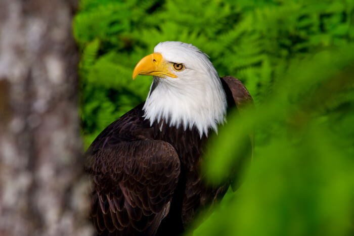 spot eagles on alaska cruis tours