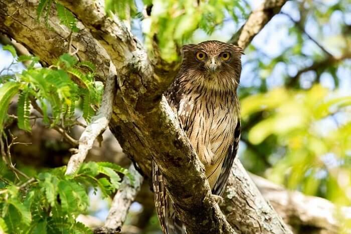 Brown-Fish-Owl in mudumalai