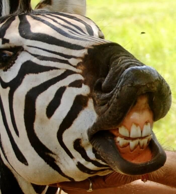 zebra in casela nature park