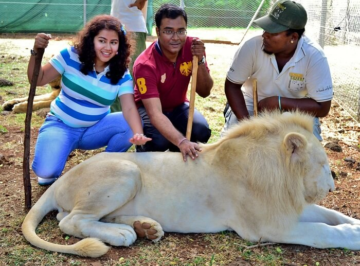 caressing the lion in casela mauritius