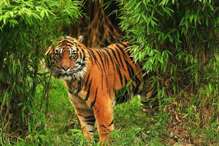 Silent Valley National Park Tiger