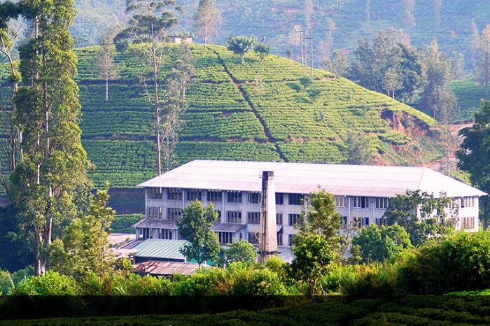 Venture out on a Tea Factory Tour in Sri Lanka