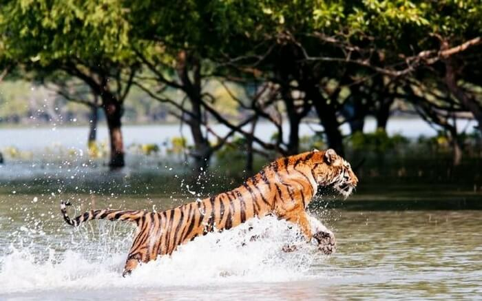 Famous Royal Bengal Tiger at Sundarban National Park