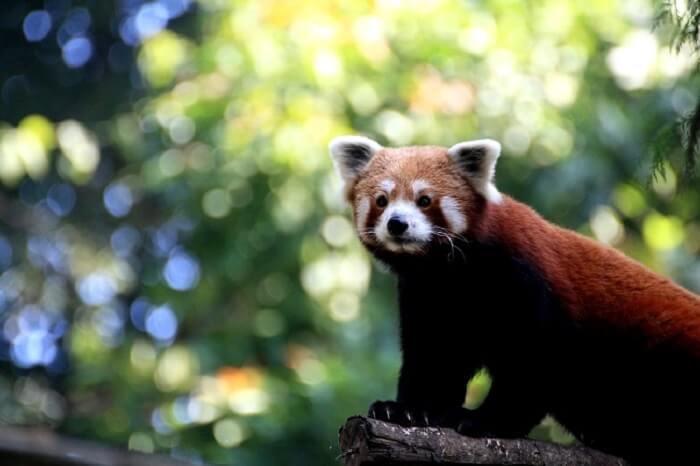 red panda in nokrek park