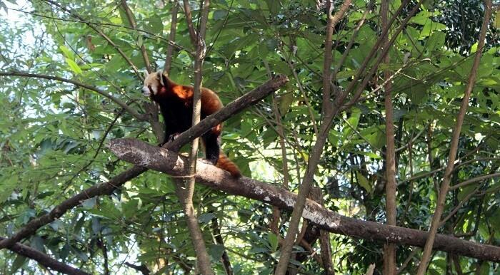 32 red panda
