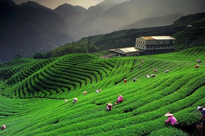A beautiful view of Kausani Tea Estate