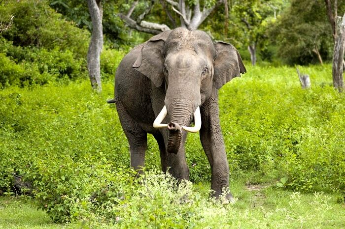 Asiatic Elephant in kalesar National Park Haryana