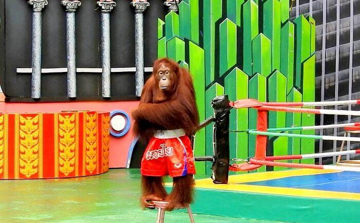 safari world orangutan show