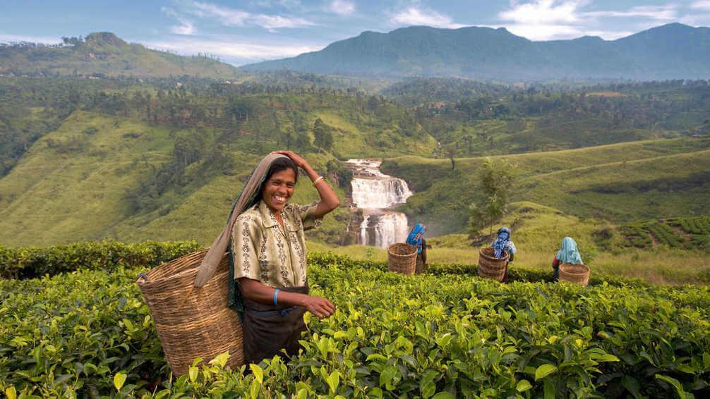 Local women working in tea plantation in Sri Lanka