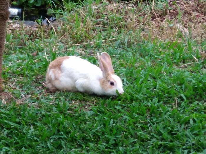 A rabbit in Alleppey