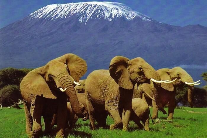 Elephant herd at Amboseli National Park Kenya