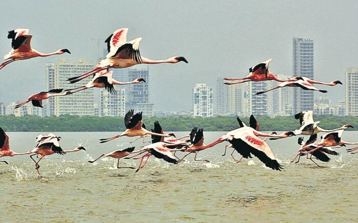 acj-0702-flamingo-sanctuary-mumbai