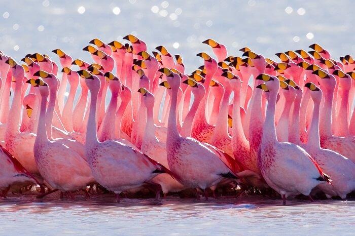 Flamingos in Baha Mar Bahamas