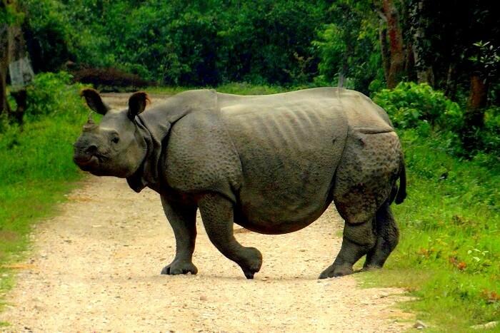 rhinos in kaziranga