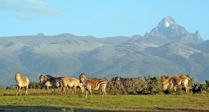 Zebra at mount kenya national park