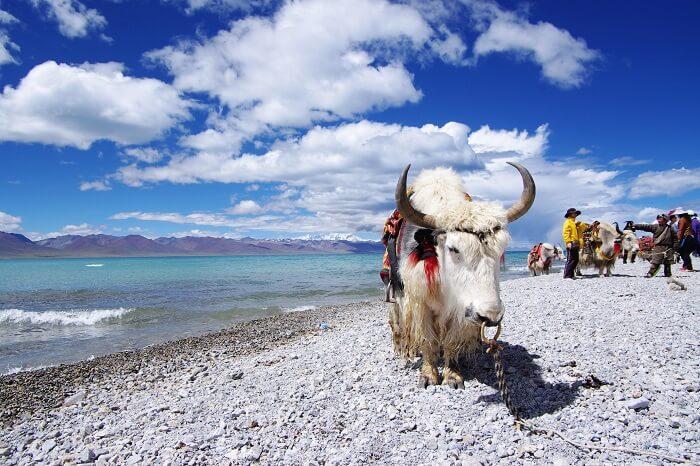 yak safari