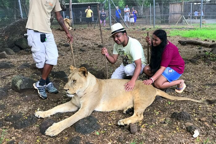 Himanshu honeymoon trip to Mauritius: interacting with lions