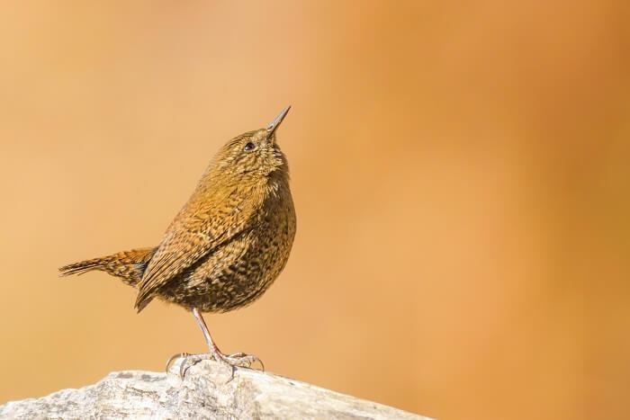 Binsar himalayan bird