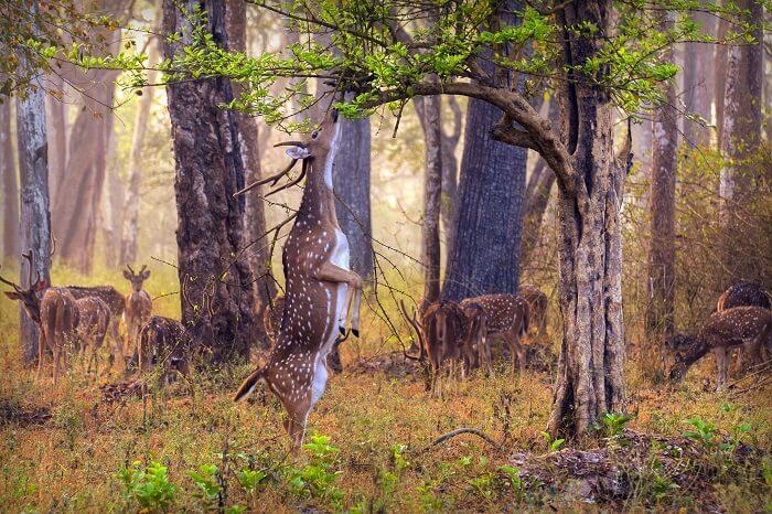 Nagarhole Wildlife Sanctuary deer