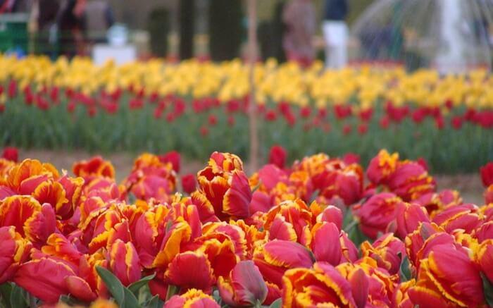 acj-2803-kashmir-tulip-garden (2)