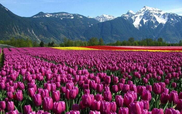 acj-2803-kashmir-tulip-garden